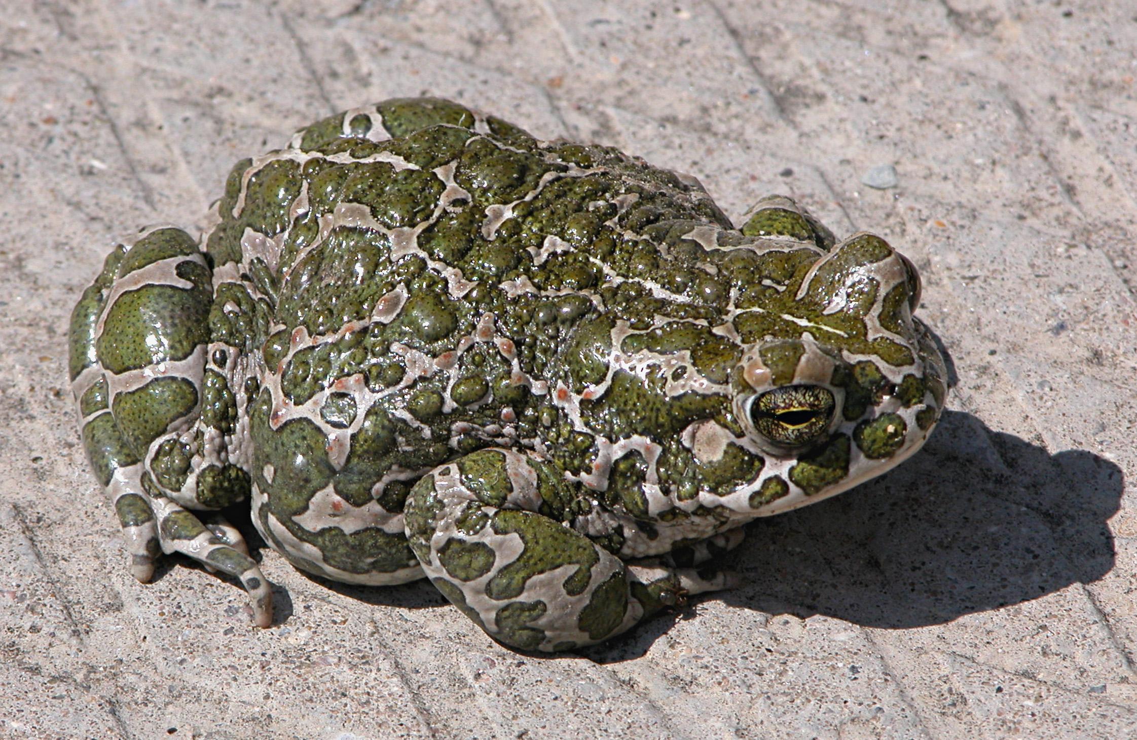 Зелёная жаба - это... Что такое Зелёная жаба? Жаба Зеленая