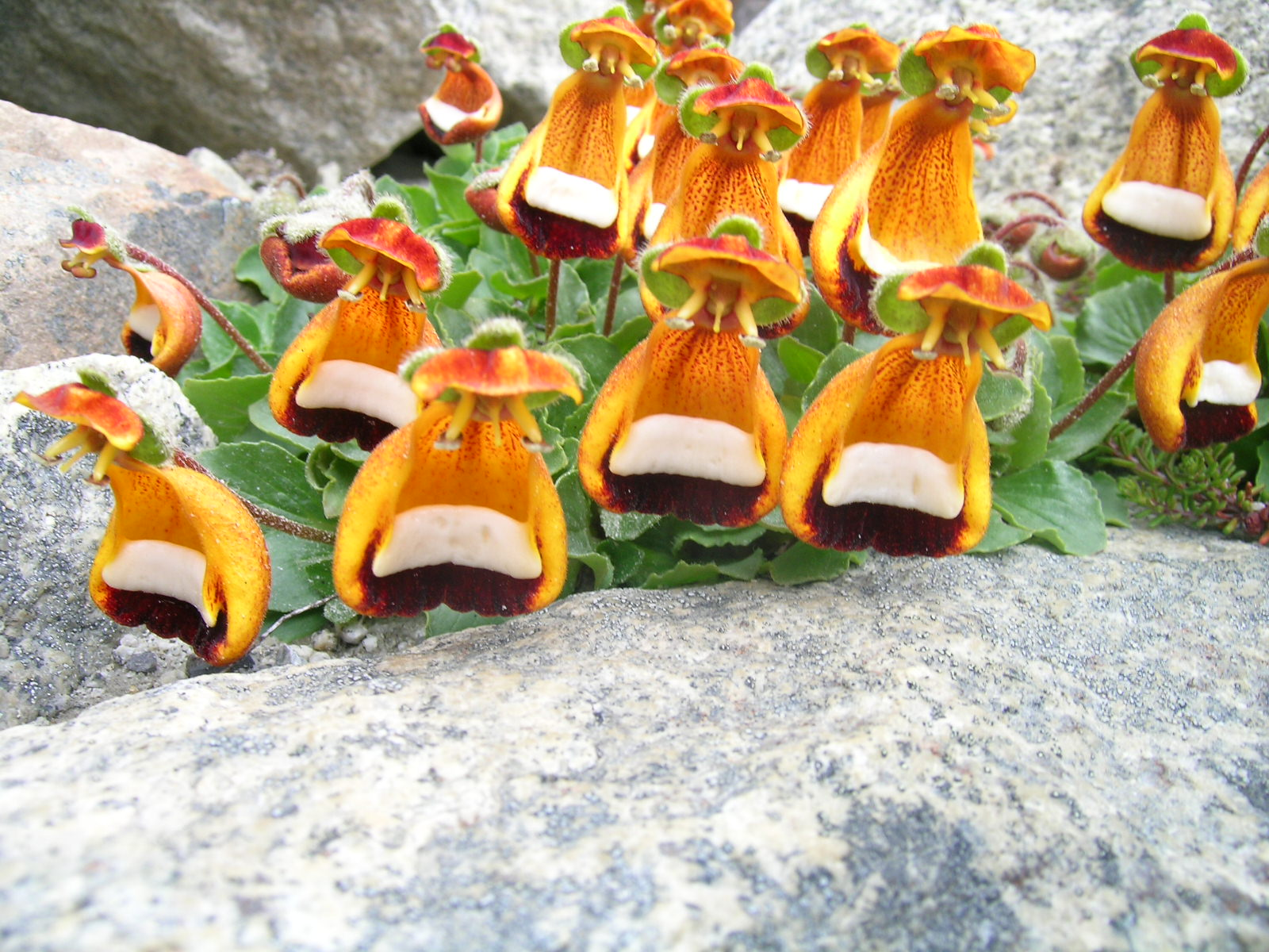 Кальцеолярия  Calceolaria описание и уход на FloralWorldru