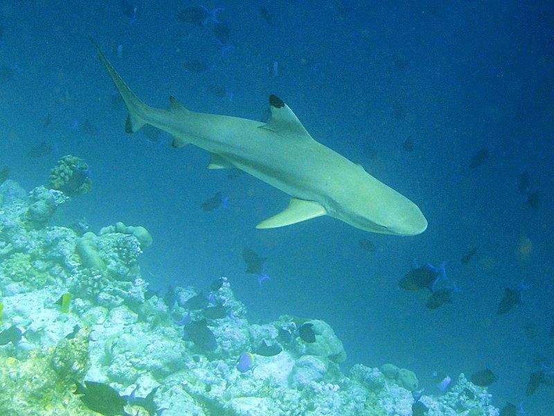 Фото Серая акула.