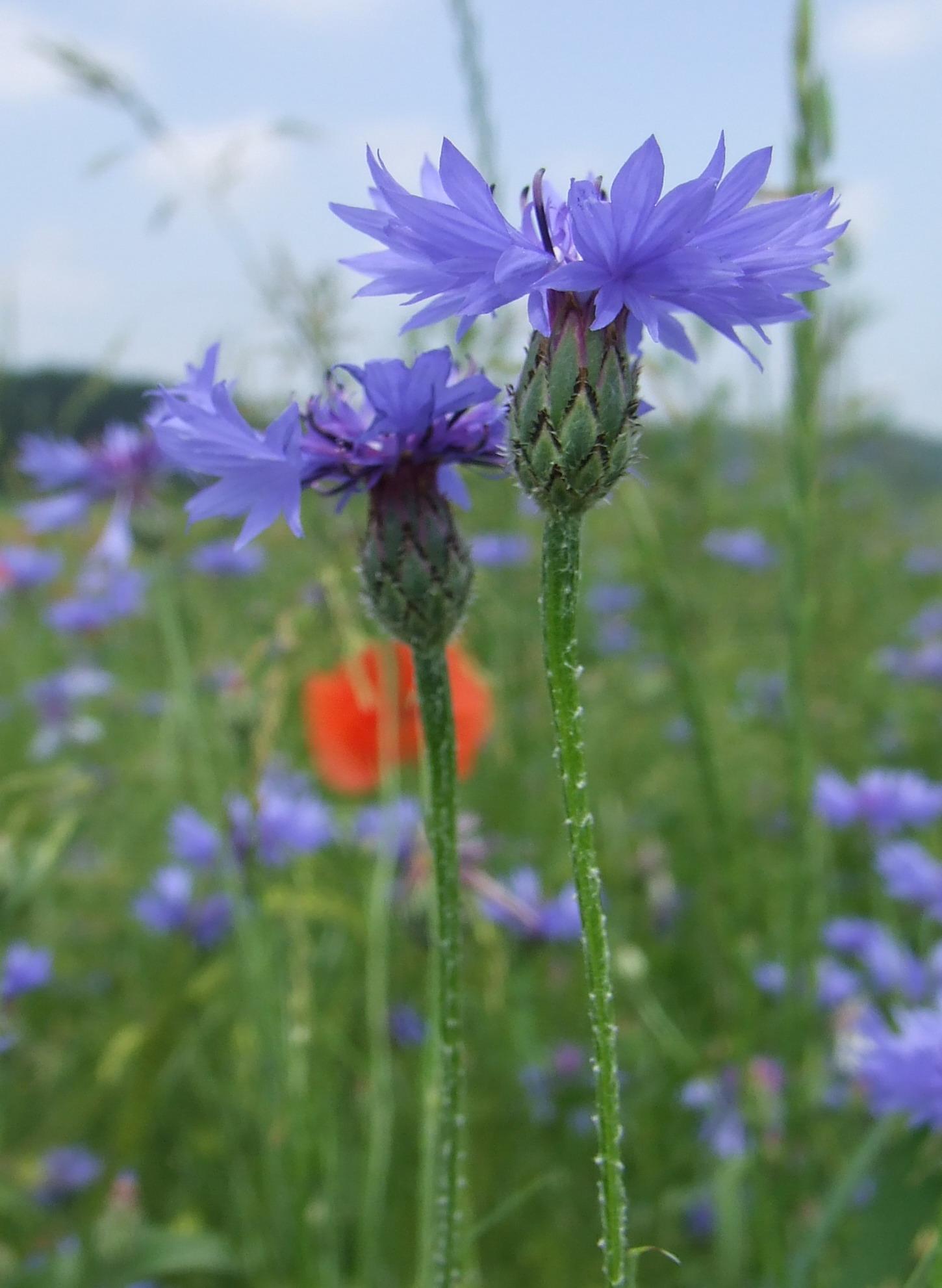 Противопоказания: Цветки василька слабо ядовиты...