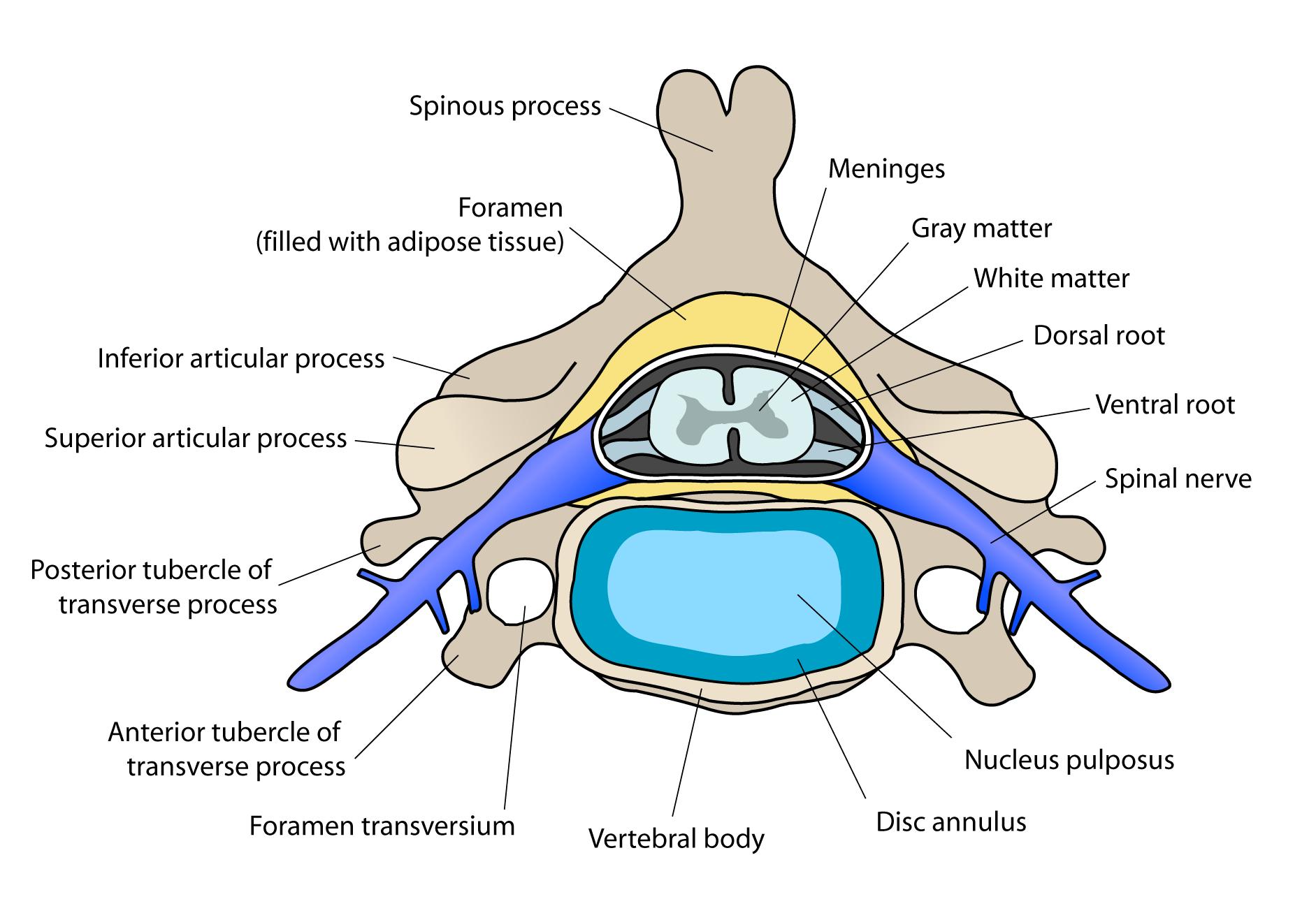 Диск Эмбриональный