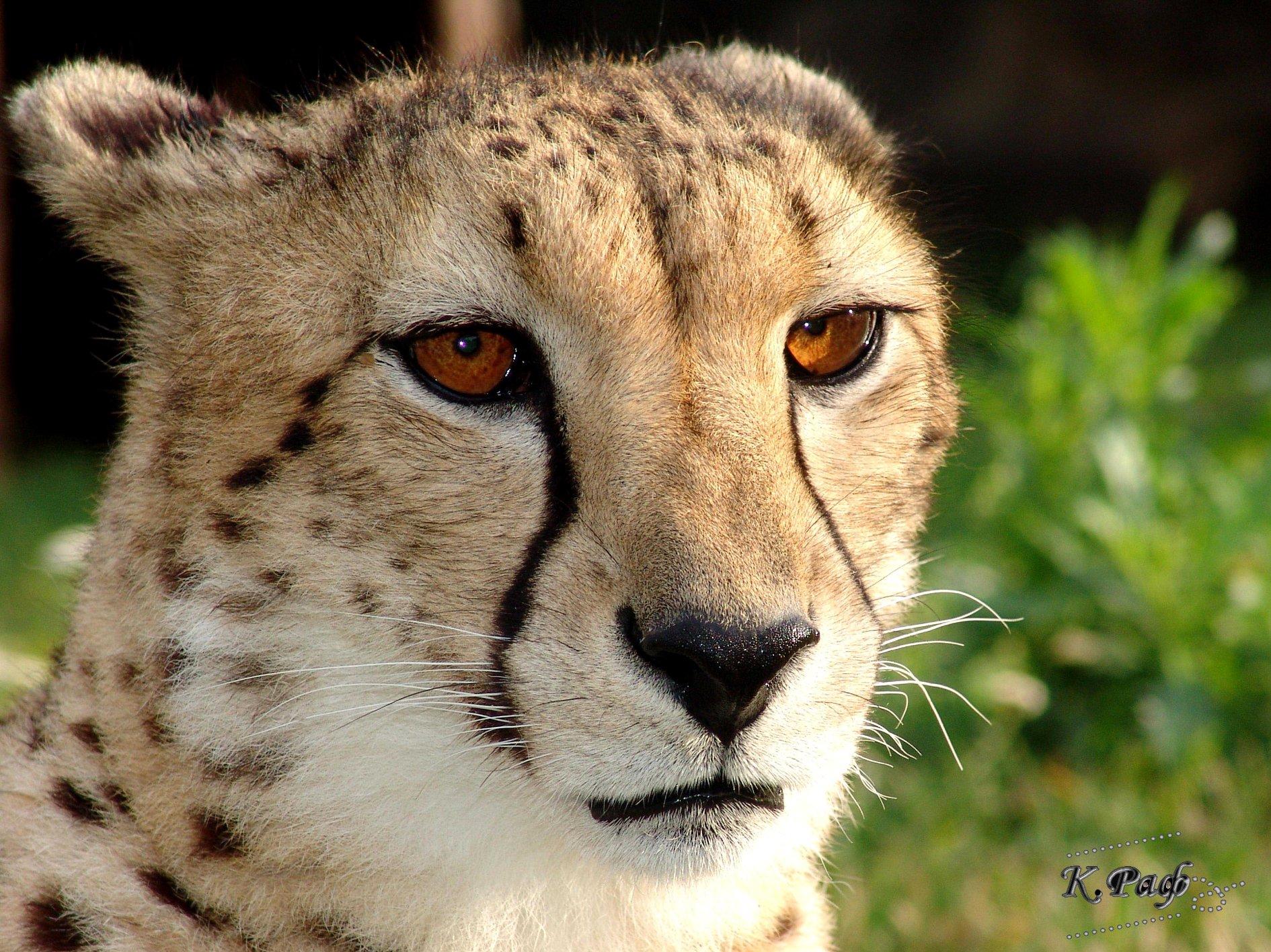 Фото cheetah