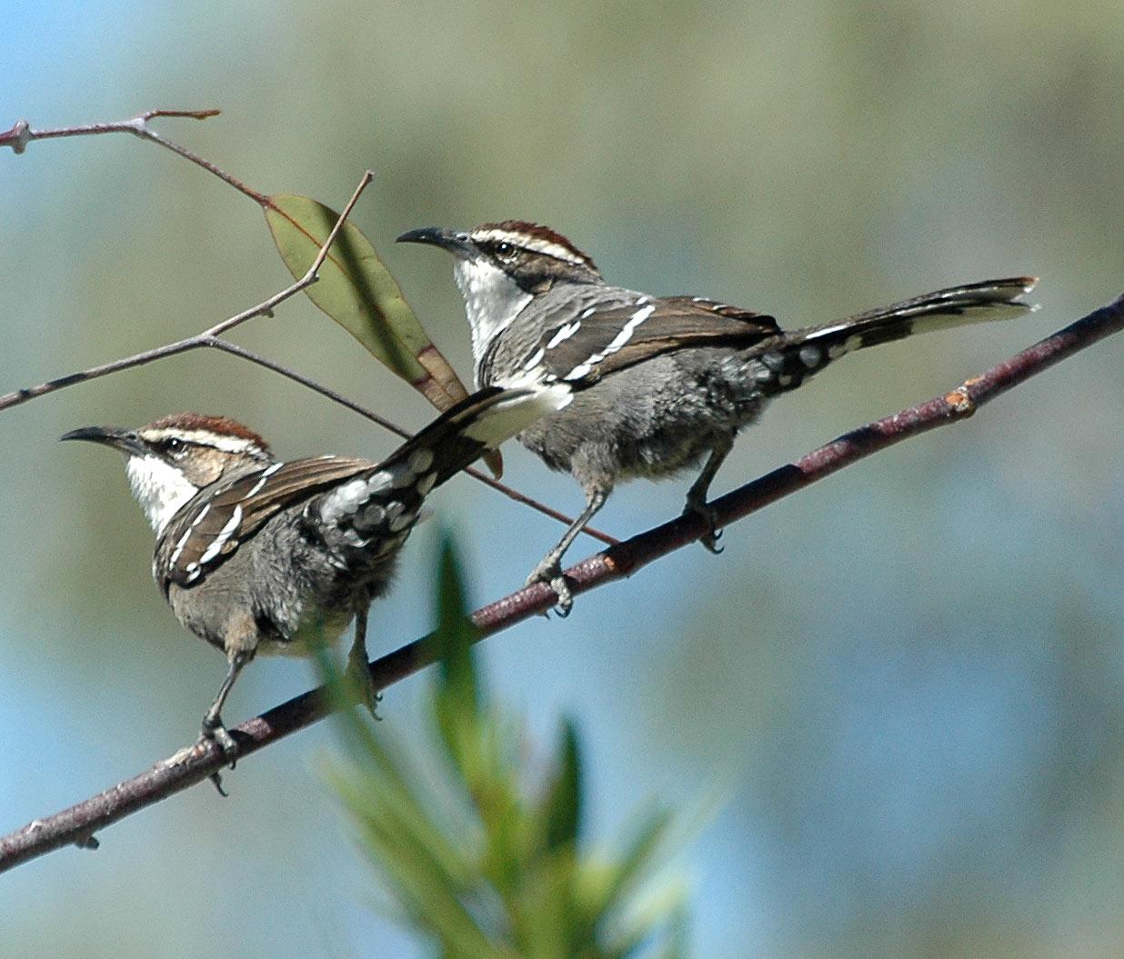 Эндемичные виды птиц австралии