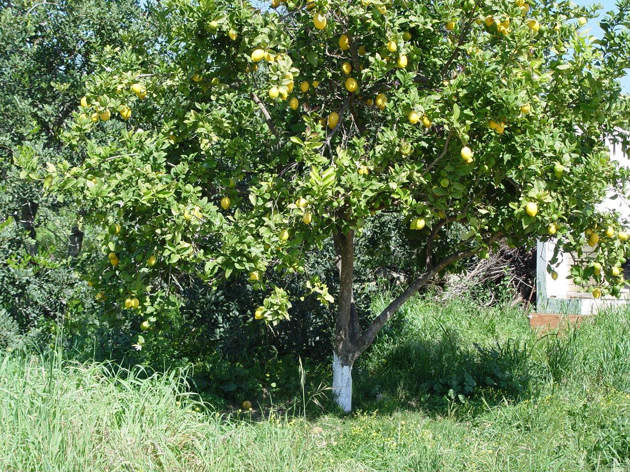 Лимонное дерево общий вид
