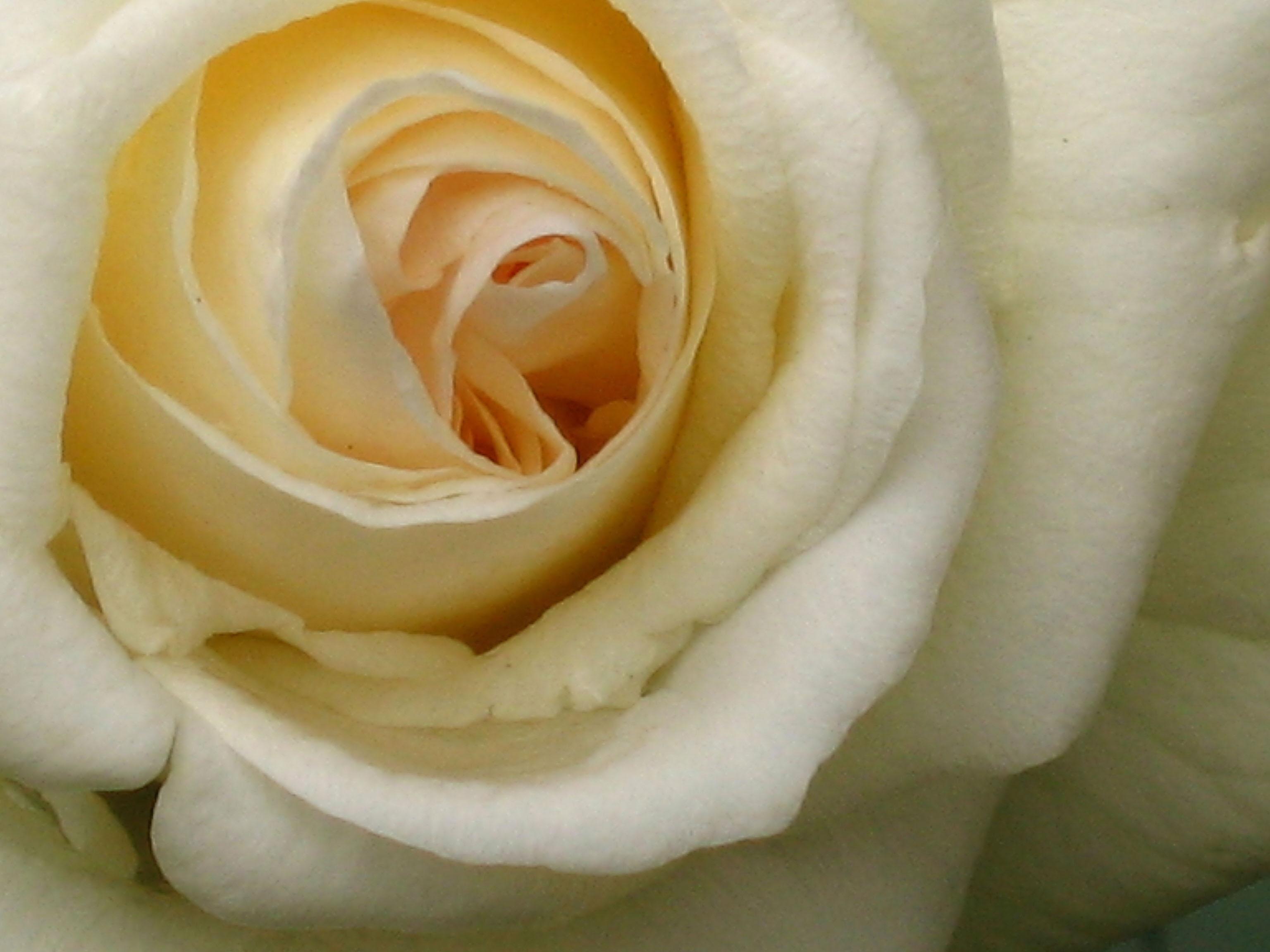 for Cream rose wallpaper