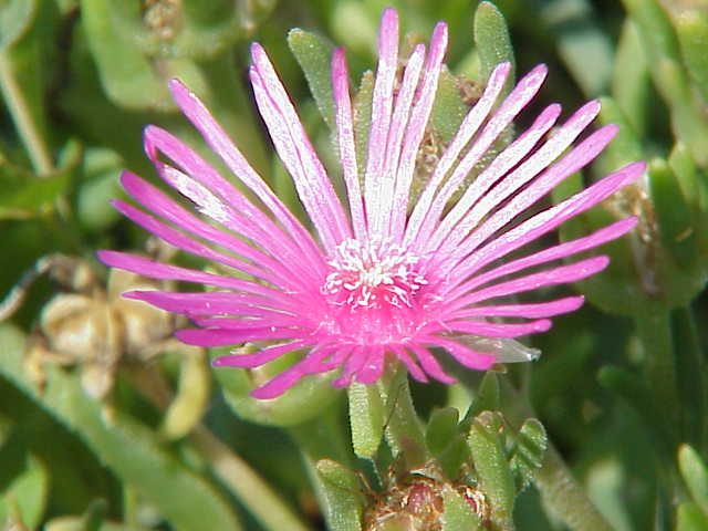 Список галлюциногенных растений - это    Что такое Список