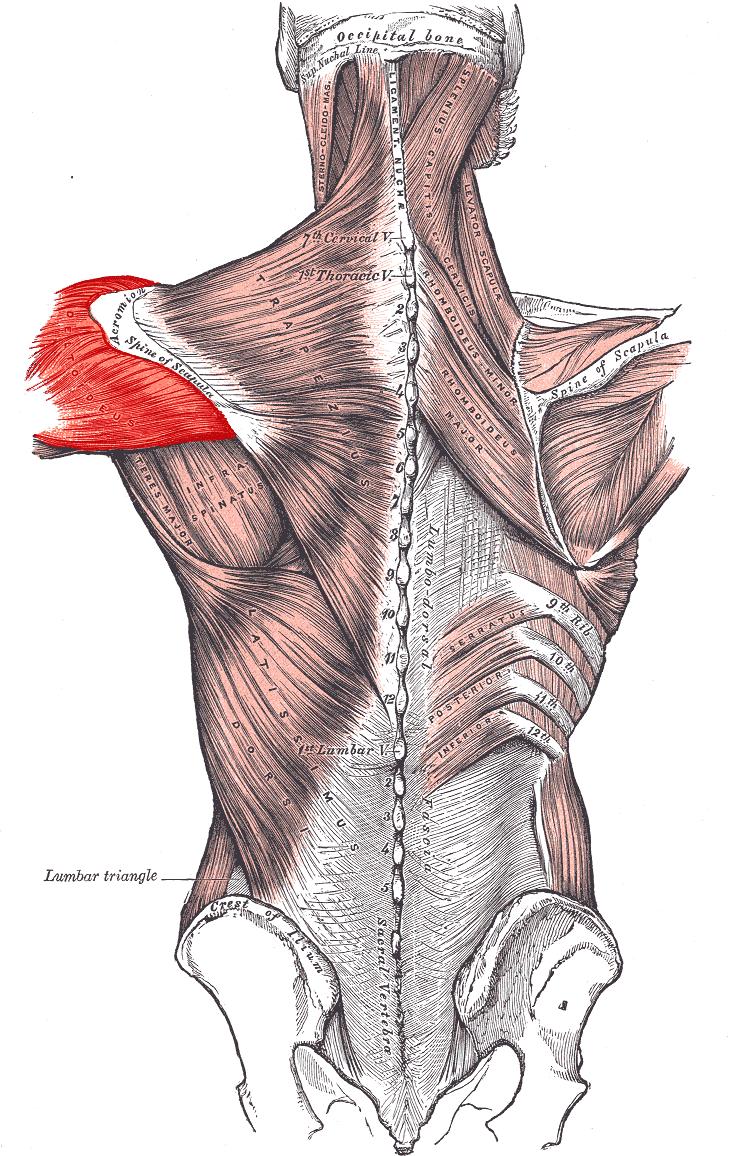 Мышца дельтовидная