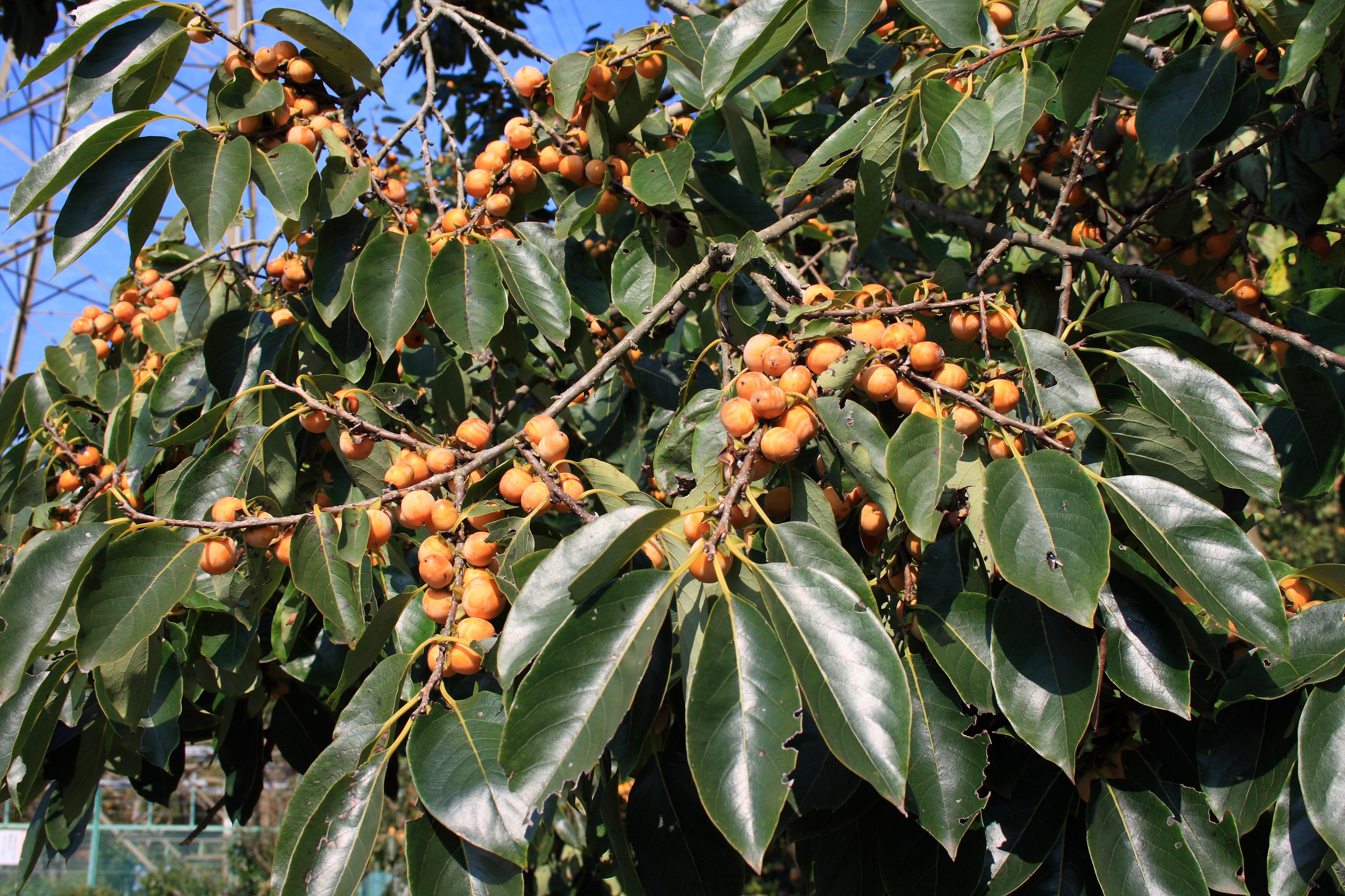 Лечение маслом какао— плода райского дерева