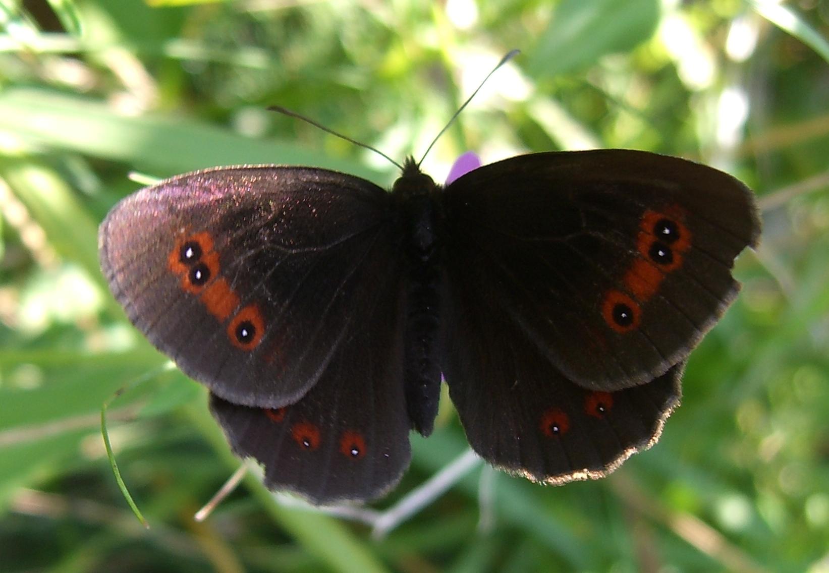 Как выглядит бабочка зорька фото