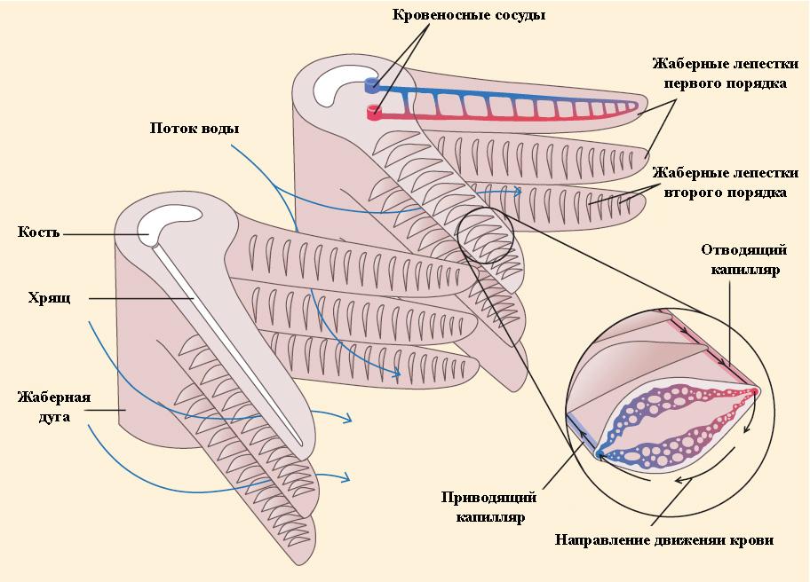 Схема работы жаберного