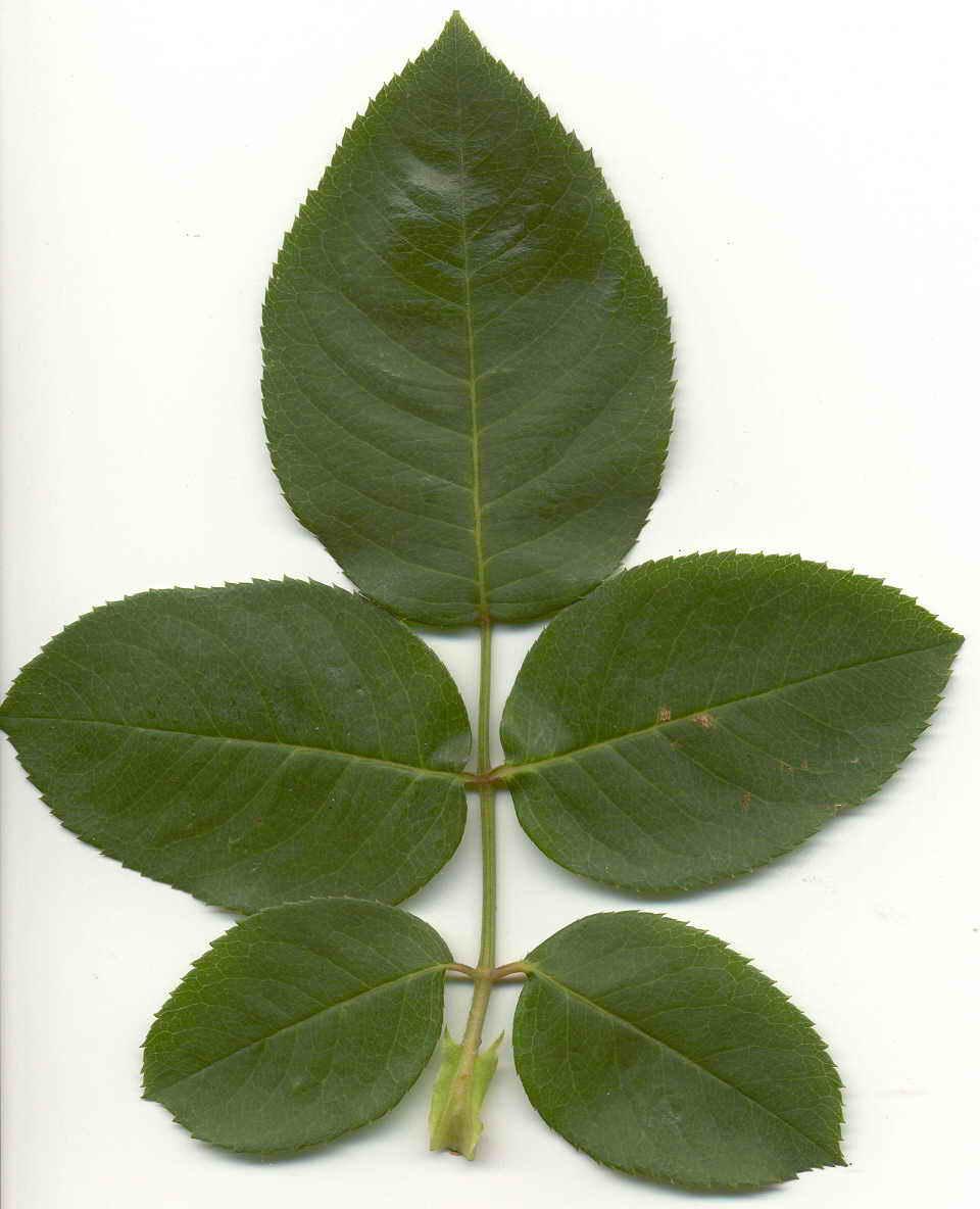 фото лист розы