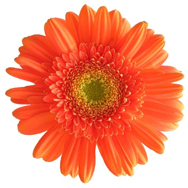 фото цветок гербер