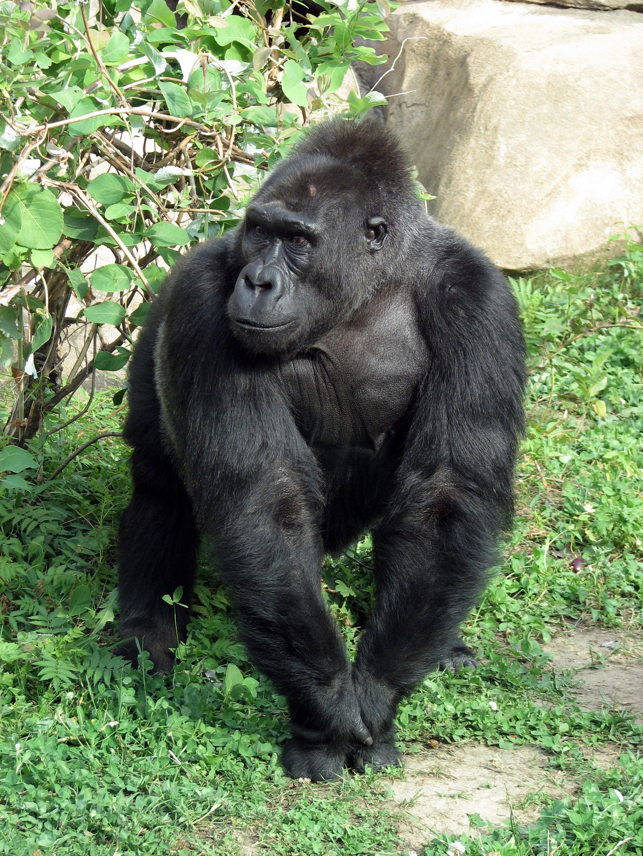 Размер члена у горилы 19 фотография