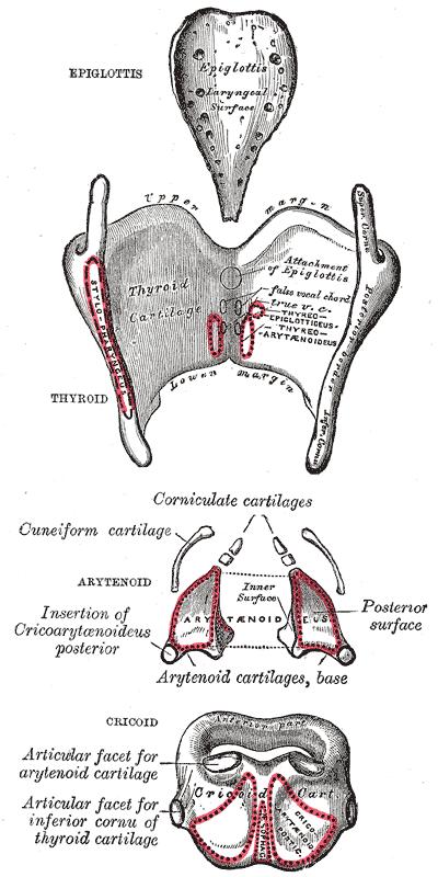 Хрящ Щитовидный
