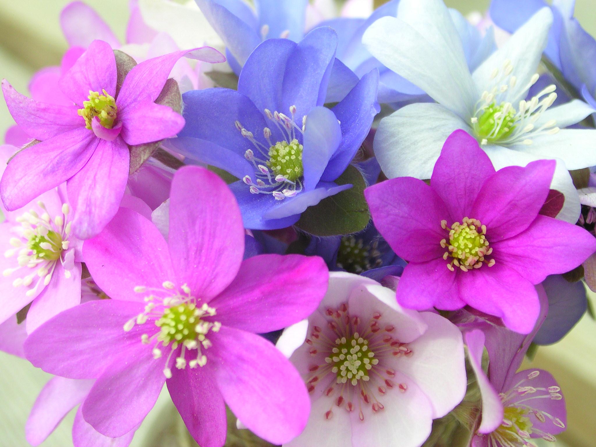 Печеночница — Голубая перелеска — Растения — П — Статьи