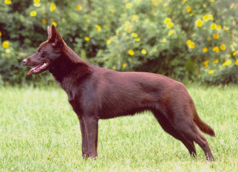Собака перевод