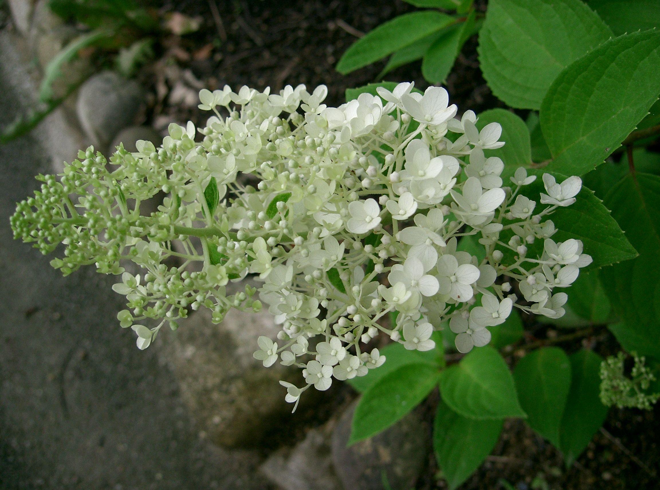 Unique гортензия метельчатая hydrangea paniculata