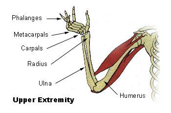 Верхняя конечность человека