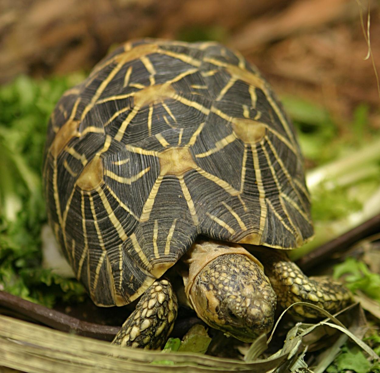 Звёздчатая черепаха фото 5