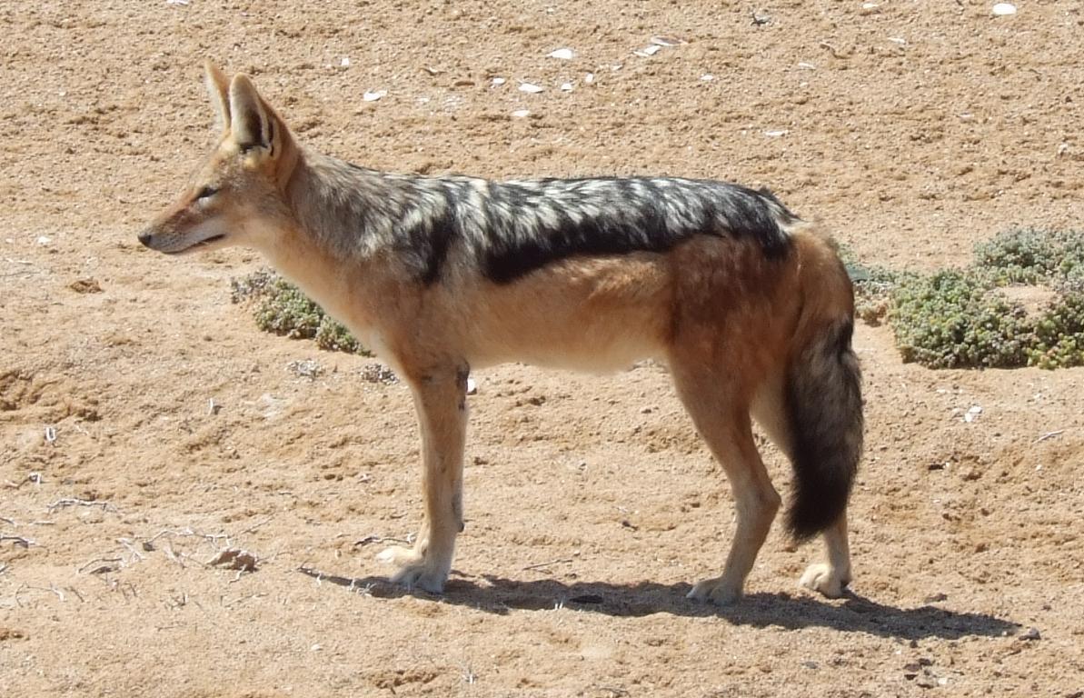 Животное шакал особенности и разновидности