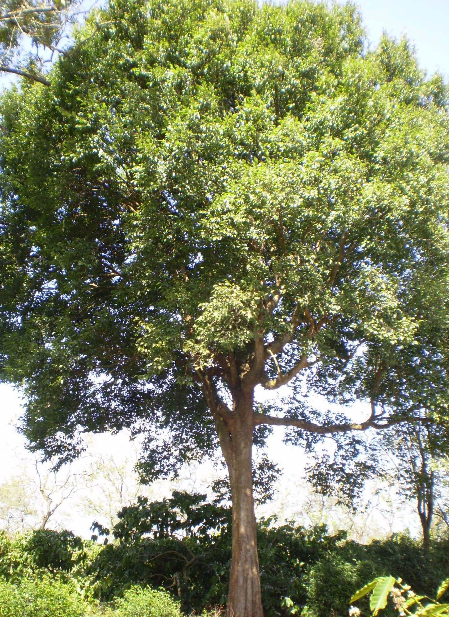 http://dic.academic.ru/pictures/wiki/files/75/Konia_tree.jpg