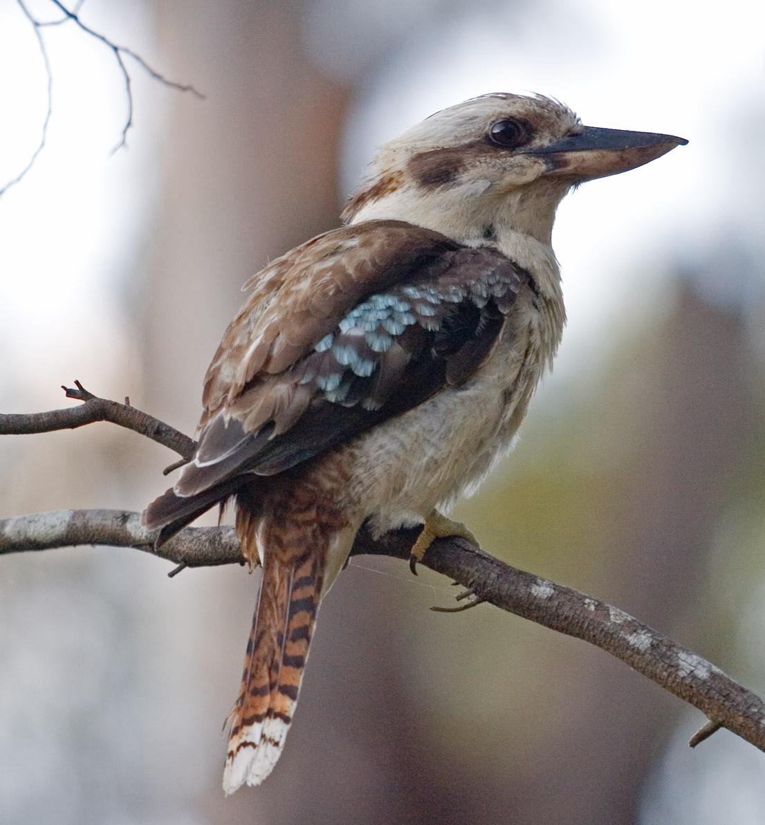 Галерея птиц австралии