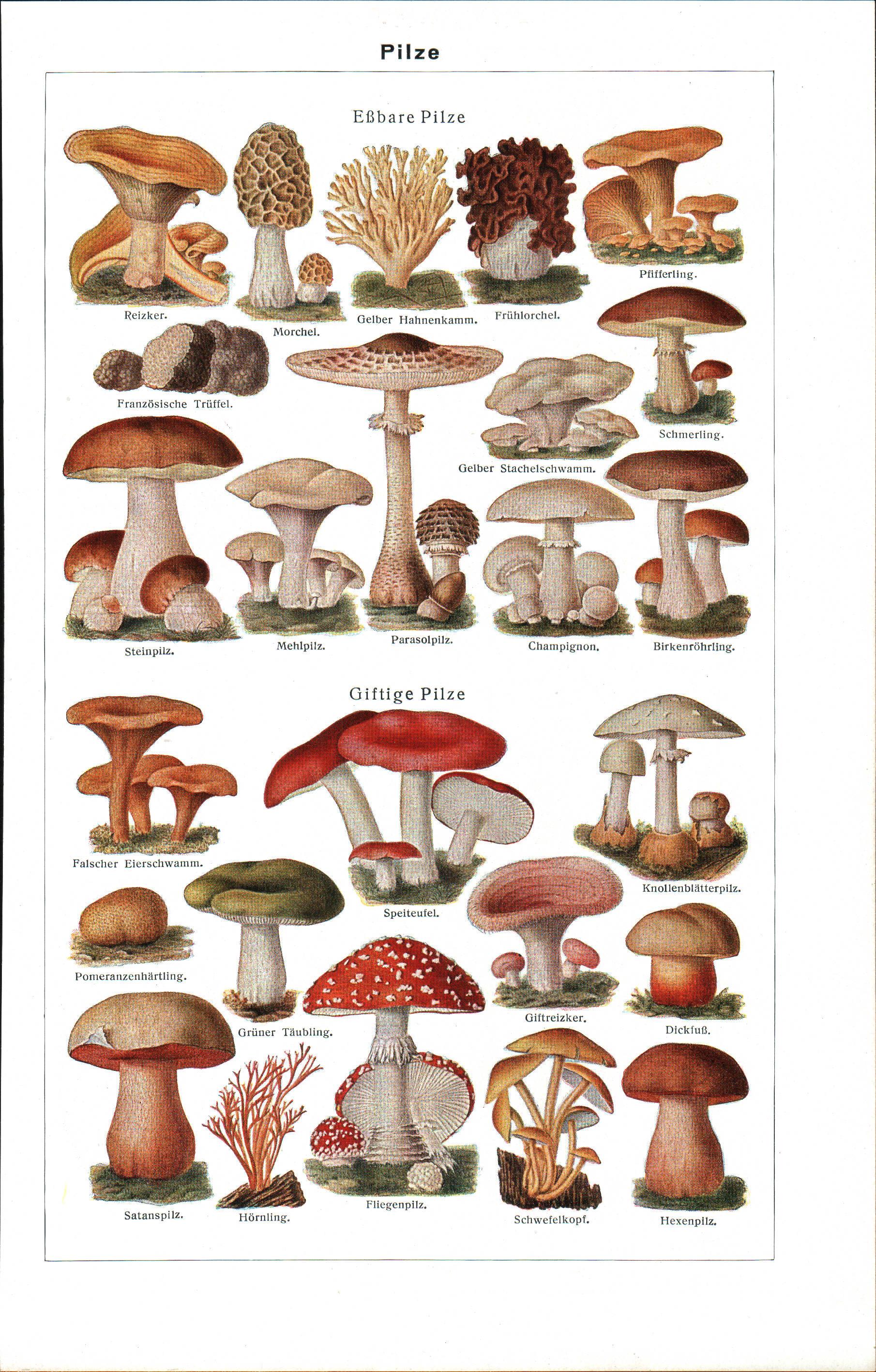 картинки грибы и название