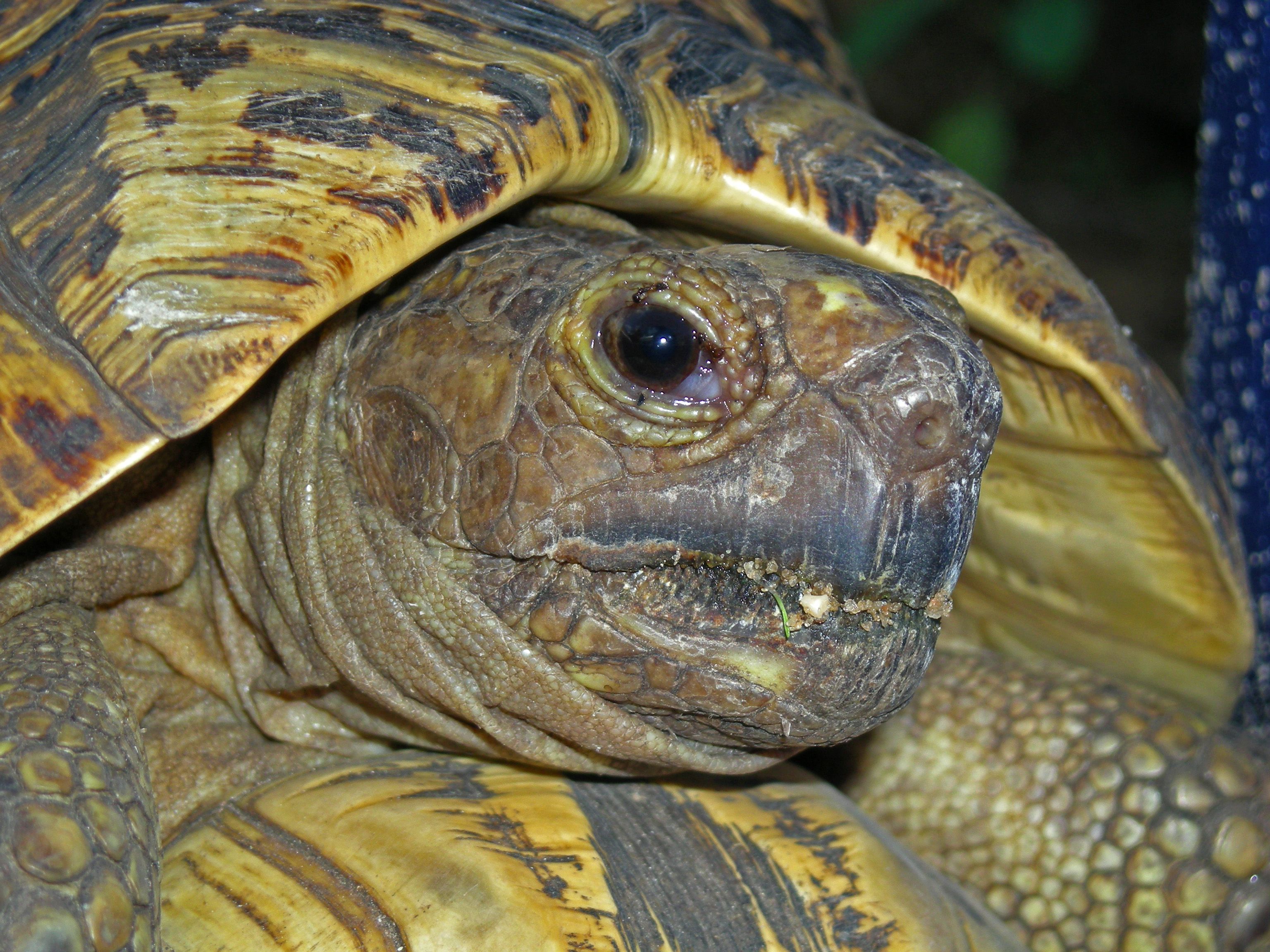 how to tell the age of a russian tortoise