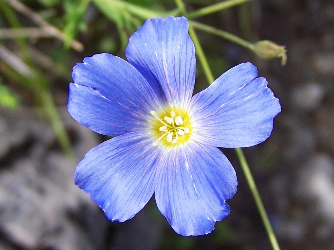 Цветок лён многолетний