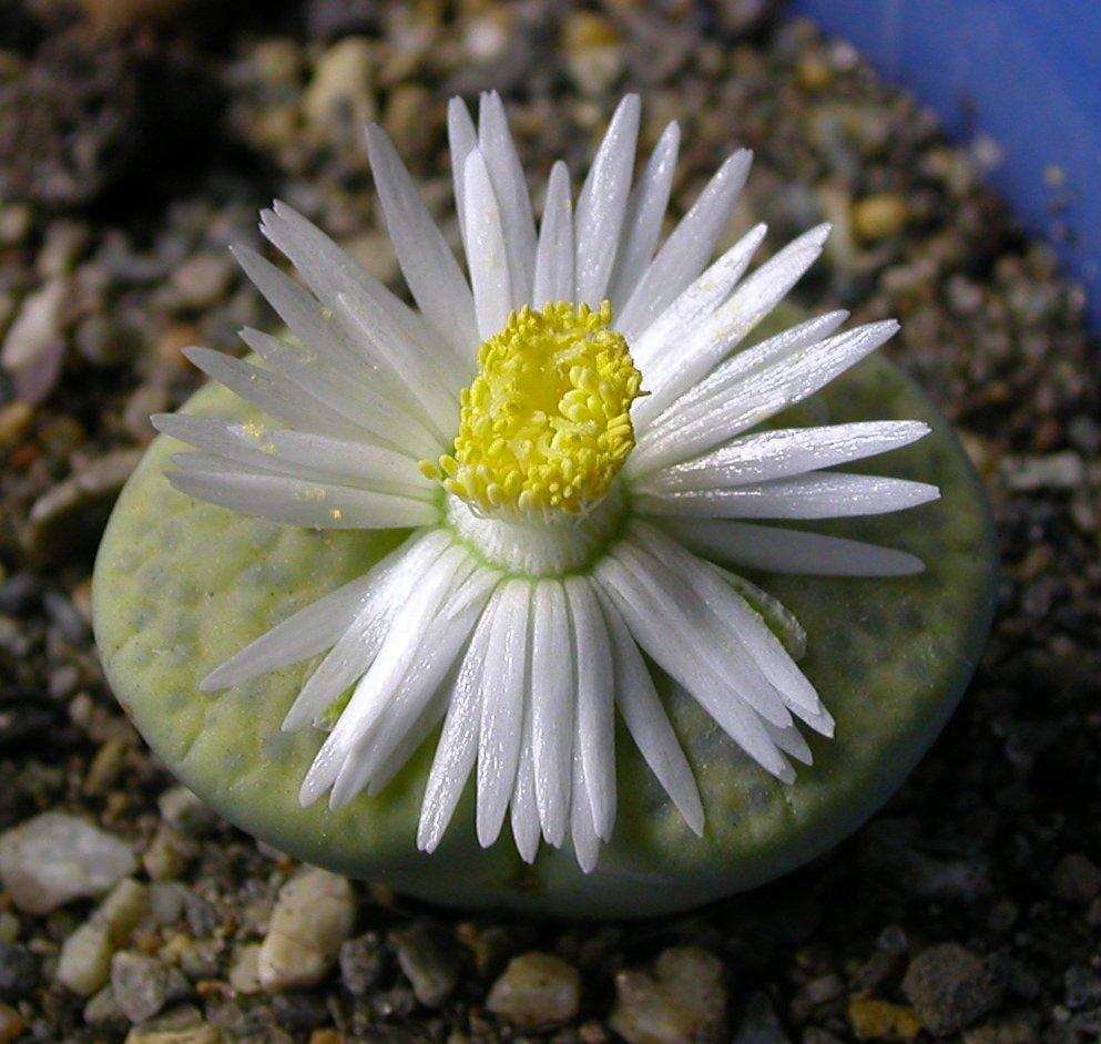 Литопсы Lithops живые камни  уход цветение