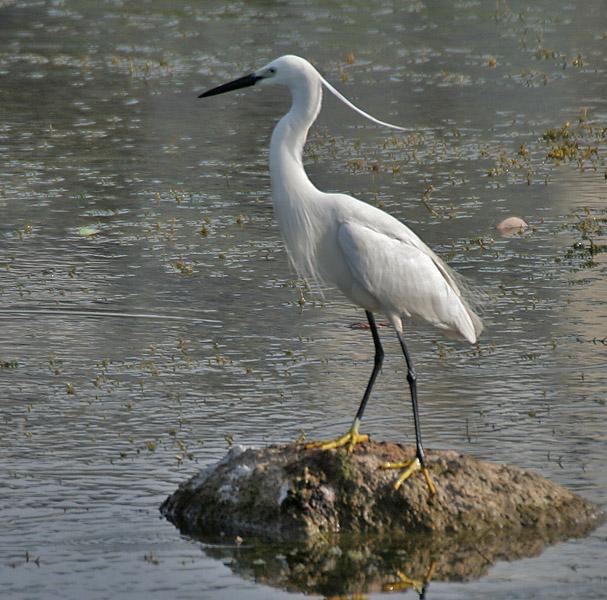 Little egret painting