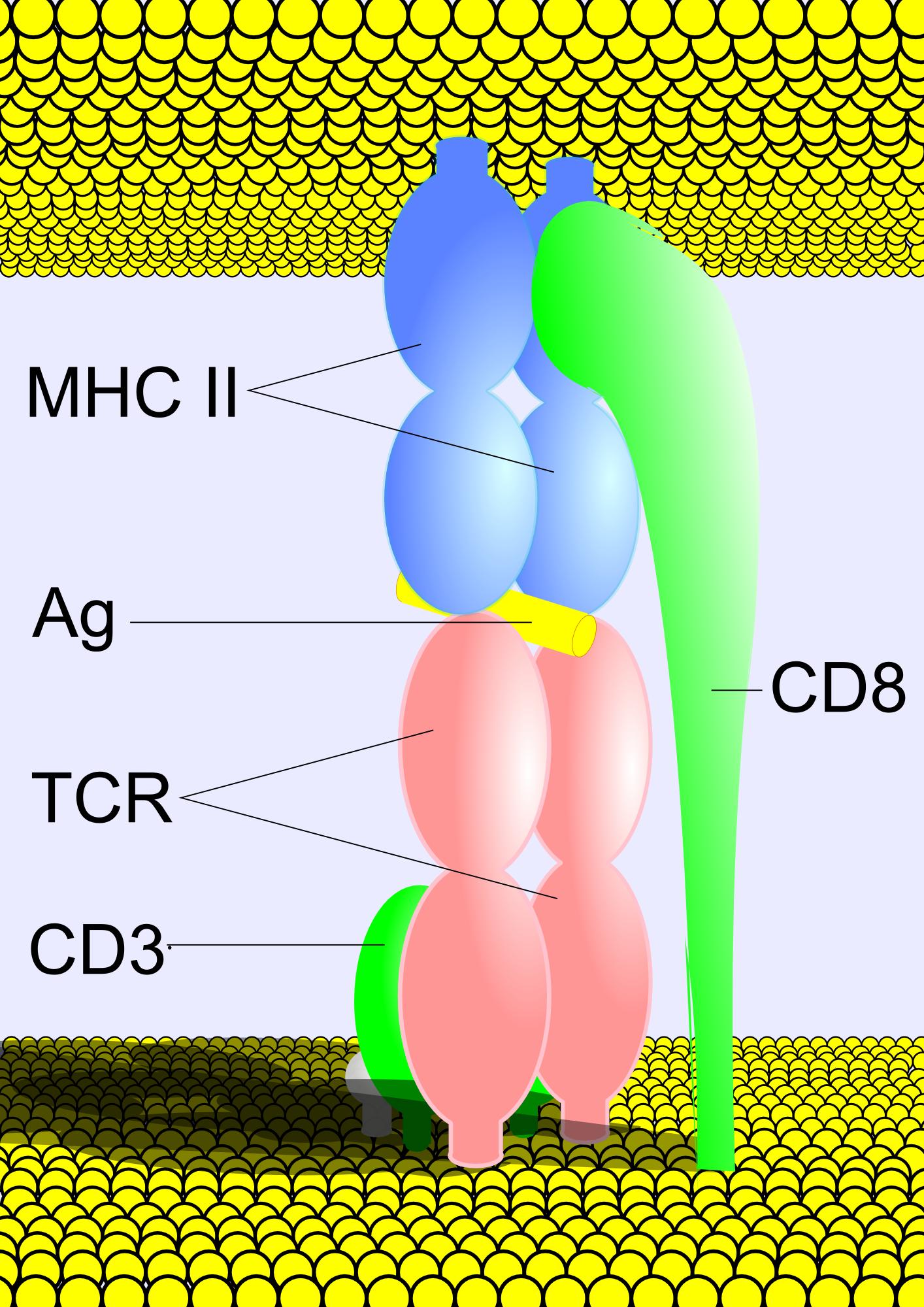 Рецептор Т-Клеточный фото