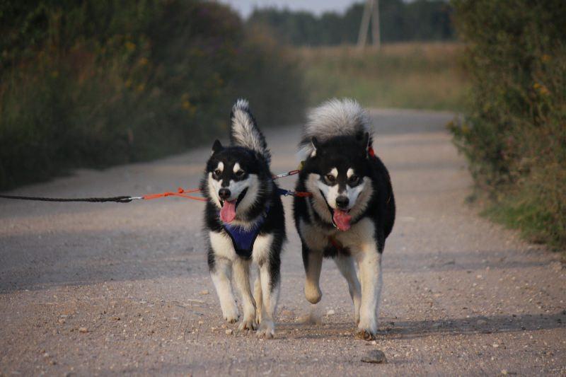 это мои собаки маламуты.  Алекс и Люция.