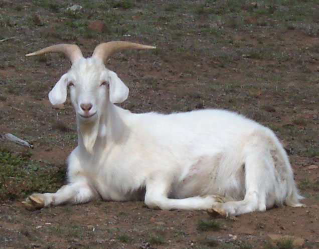 http://dic.academic.ru/pictures/wiki/files/77/Male_goat.jpg