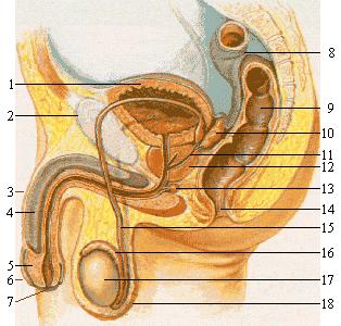 prostata wikipedia 18 éves prosztatitisem van
