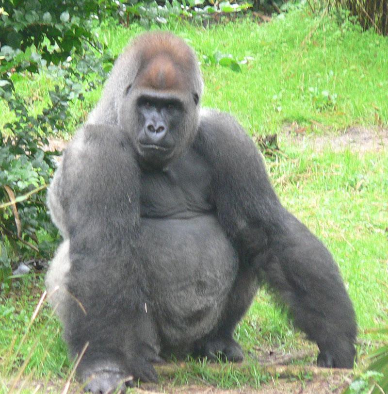 Секс порно самца гориллы с женщиной