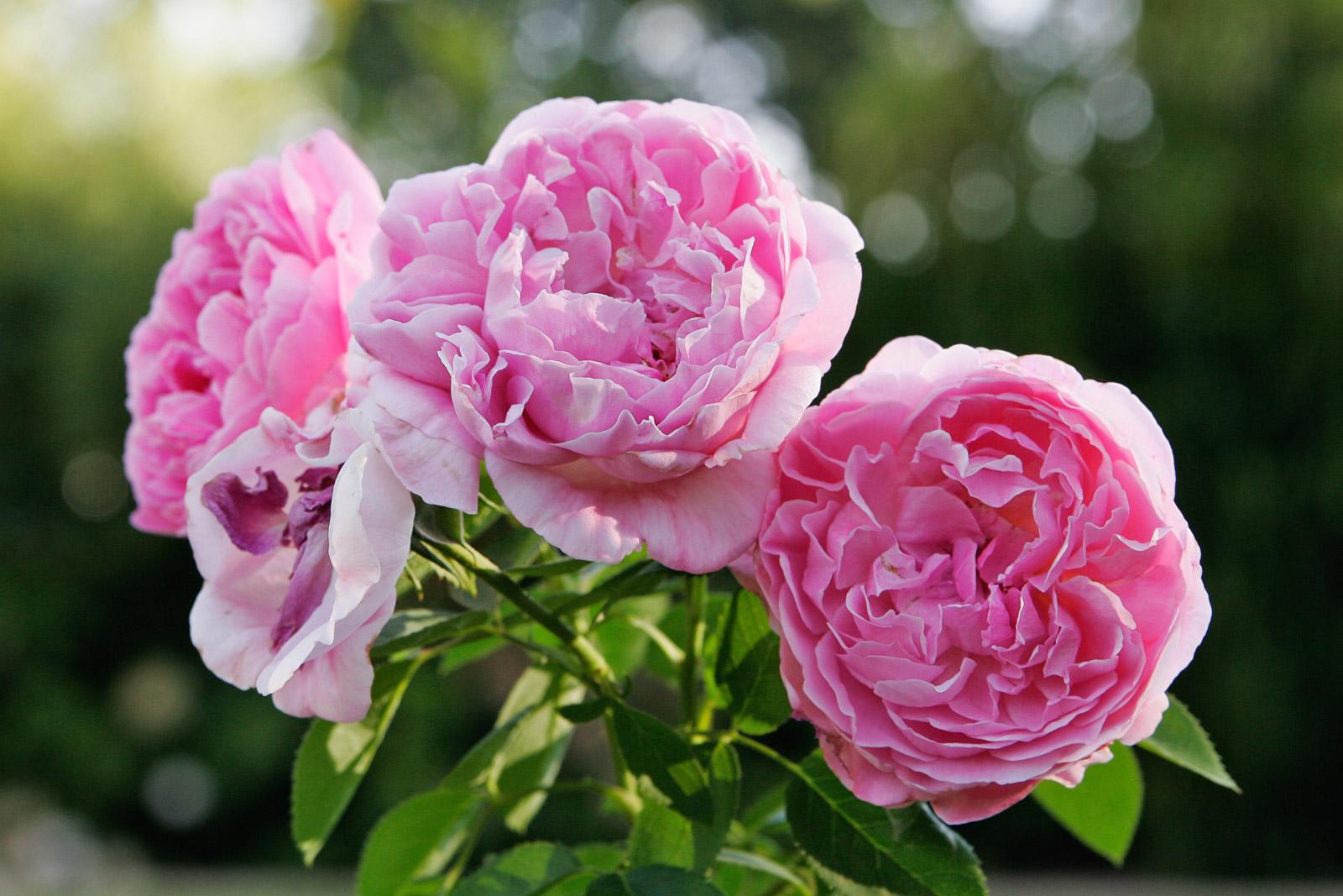 лучшие сорта английской розы остина