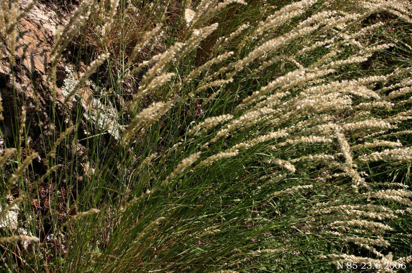 Франция melica altissima l перловник высокий