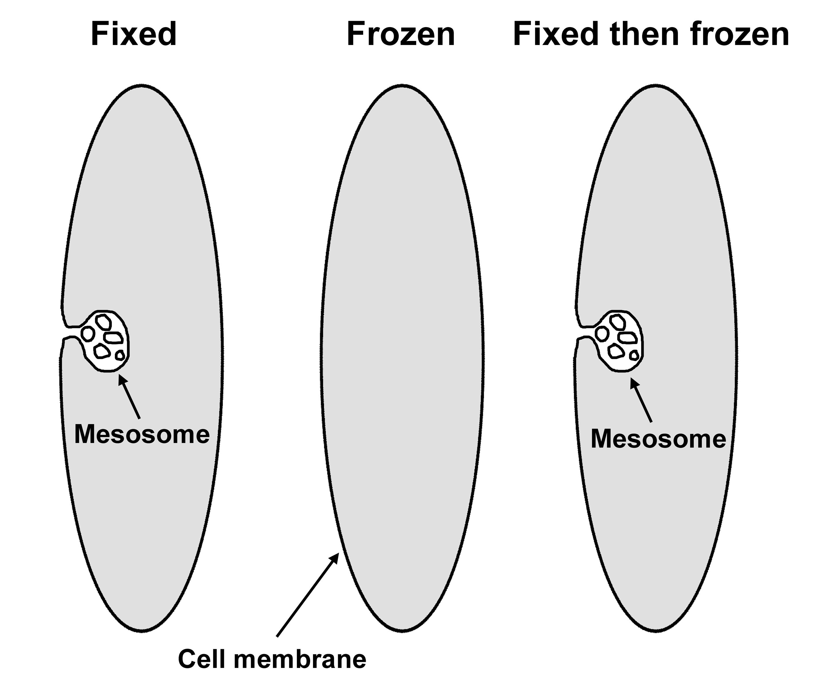 Мезосома фото