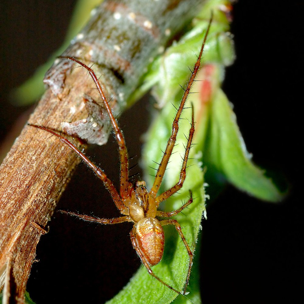 Guatemalan long jawed spider