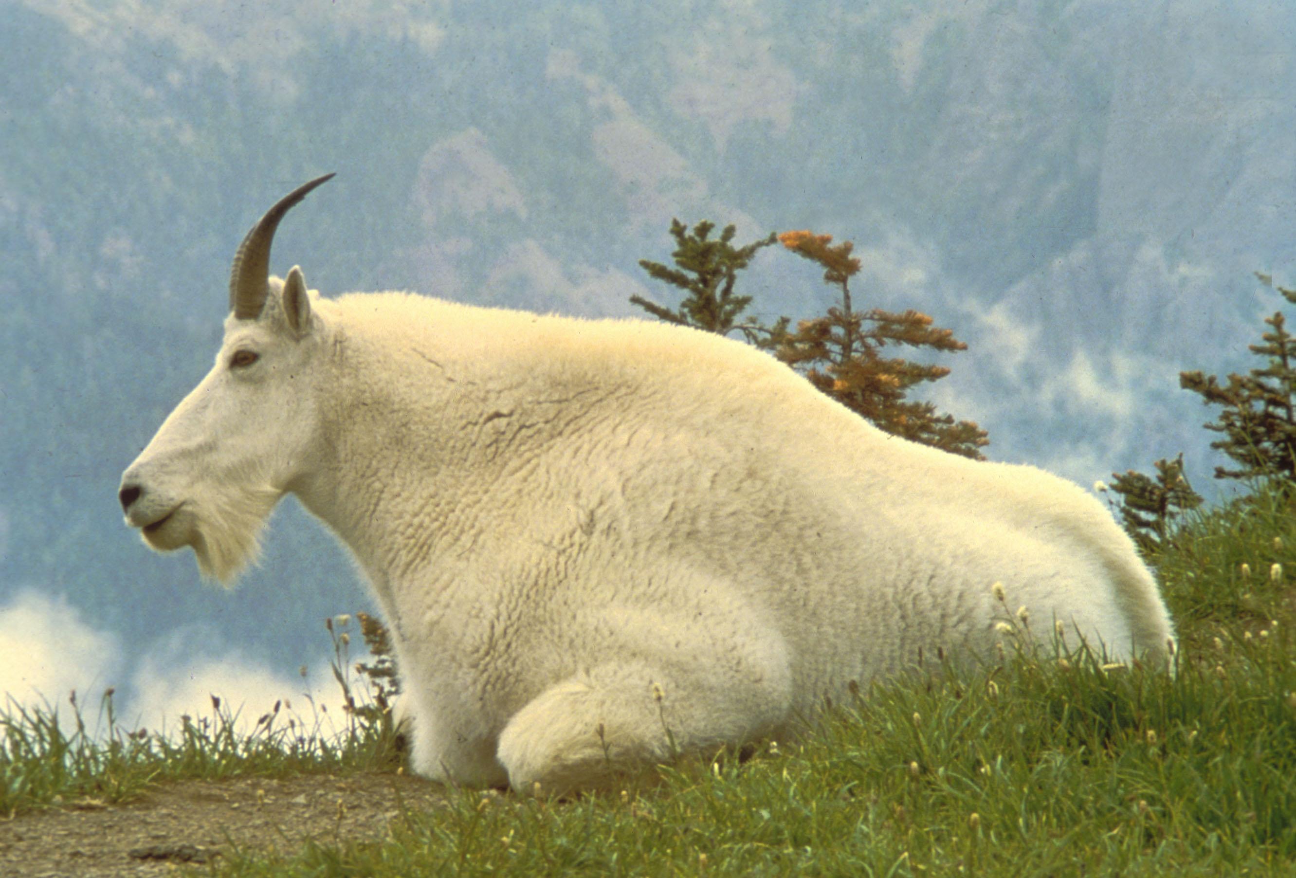 Снежная коза - это... Что такое Снежная коза?