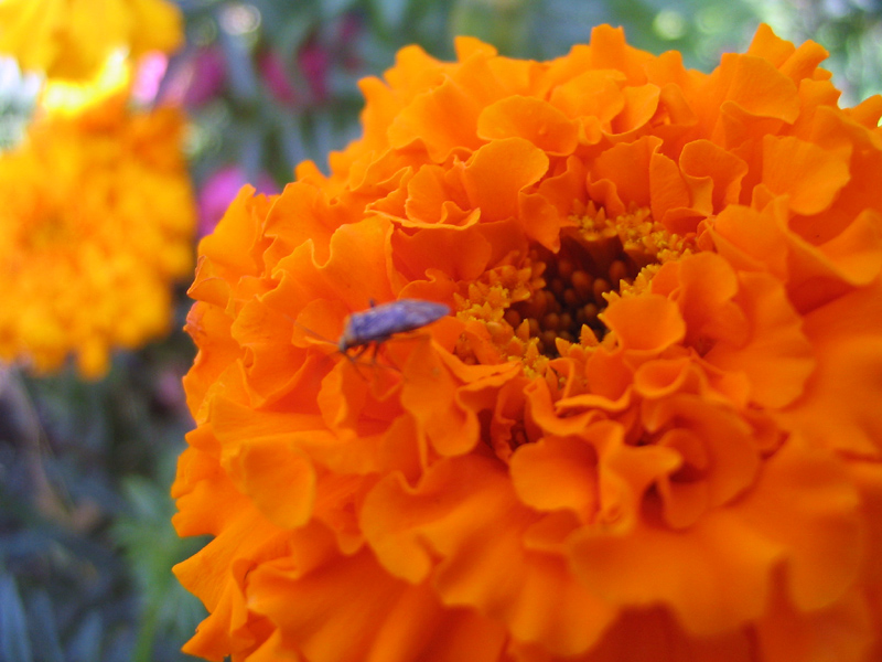 Цветок оранжевый название