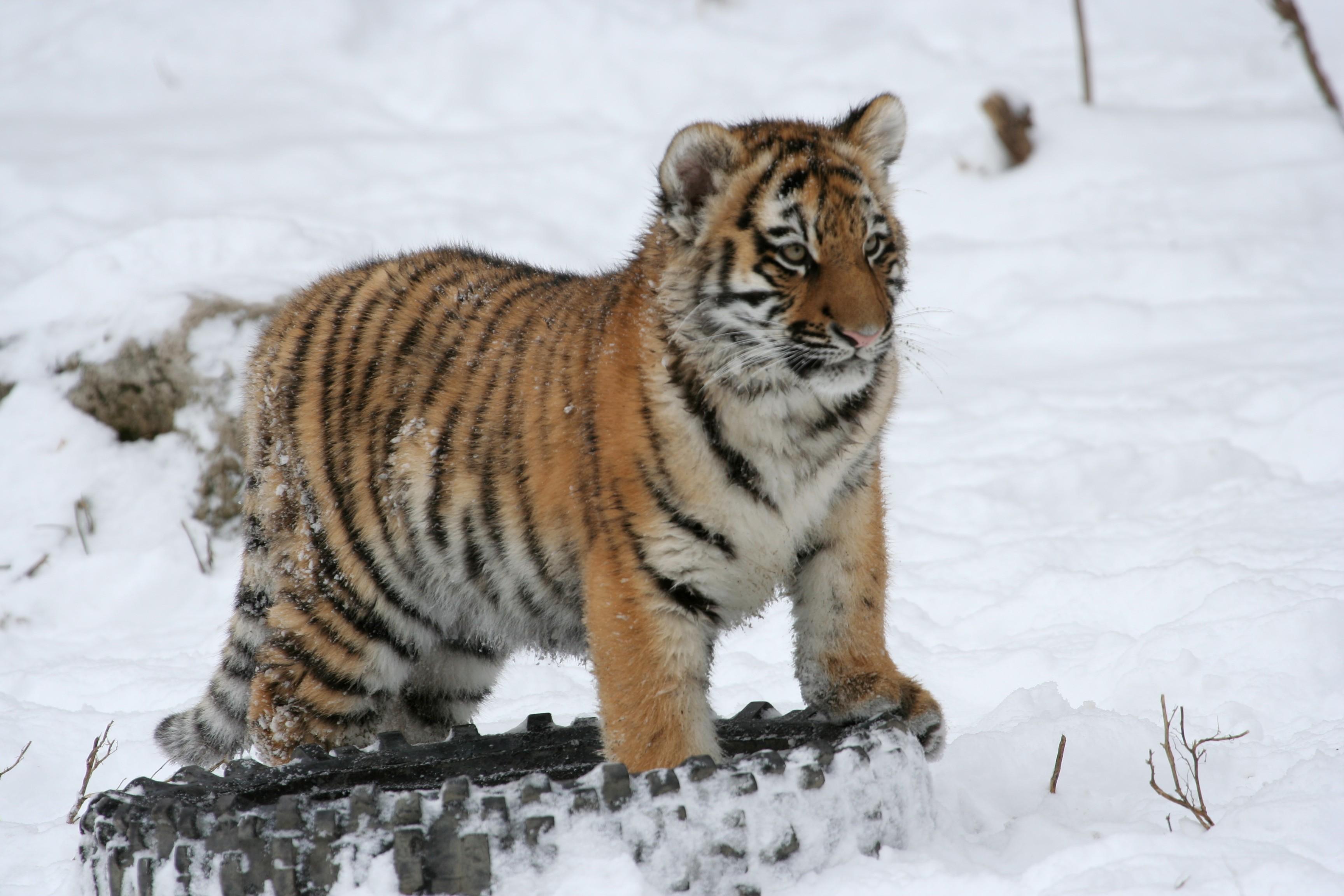 Фото амурского тигра скачать