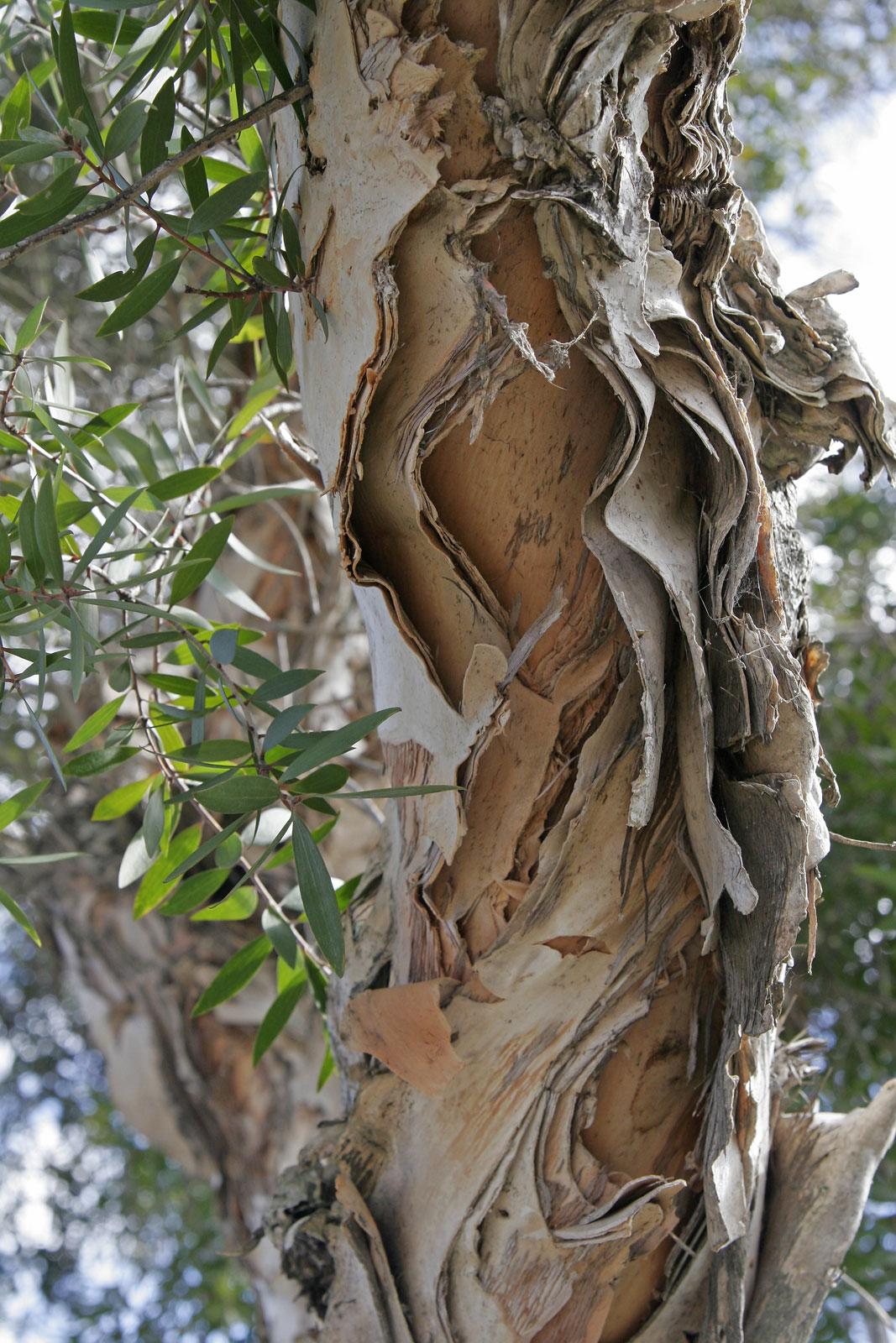 чайное дерево от паразитов