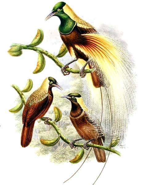 Райская птица реггианова райская