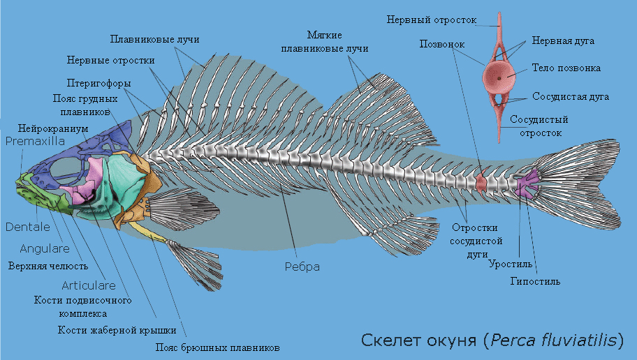 Скелет рыб, на примере окуня