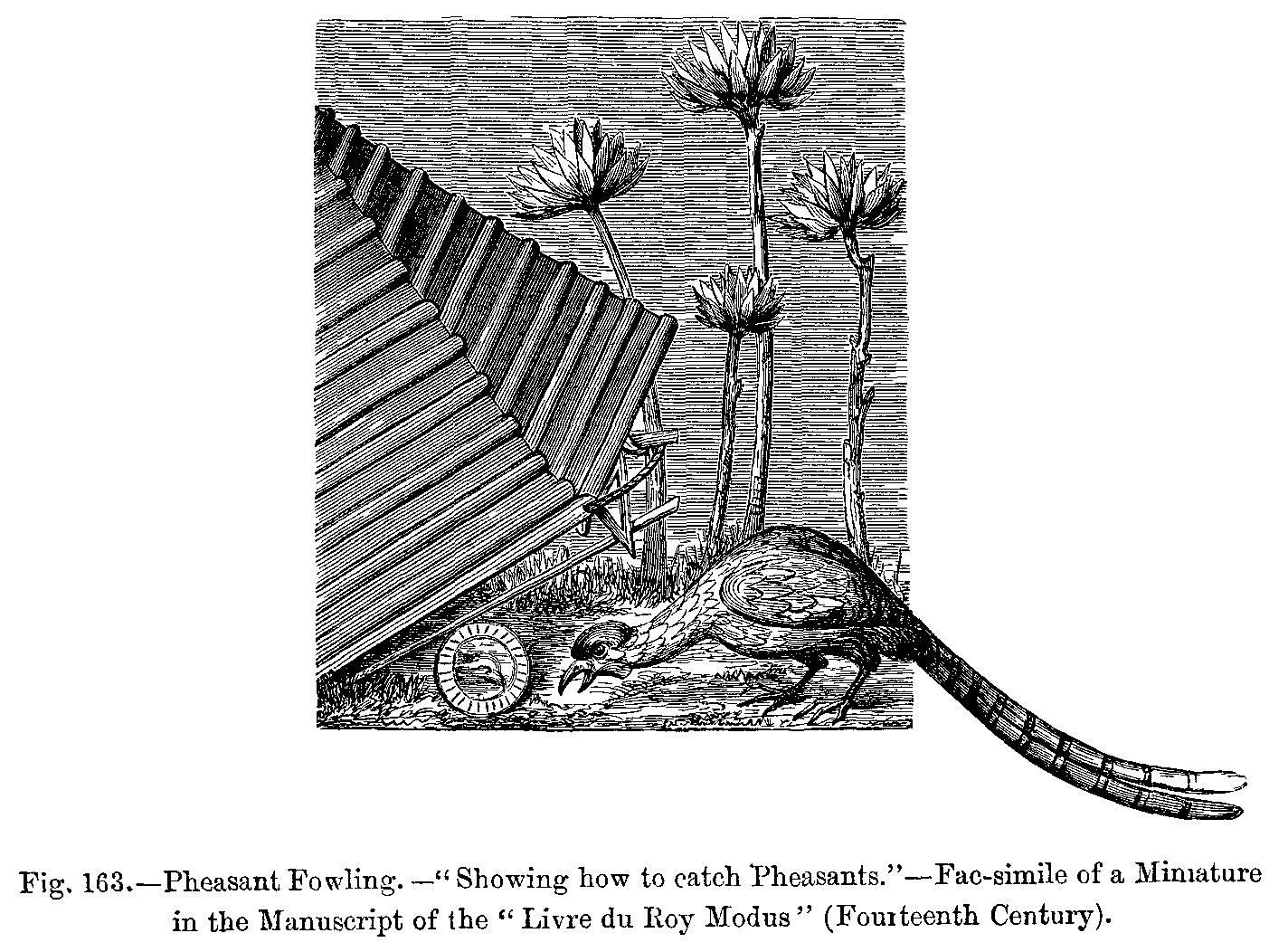 как ловят фазанов на петлю
