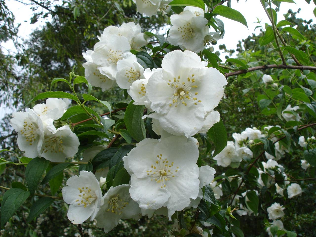 Фото белый роза