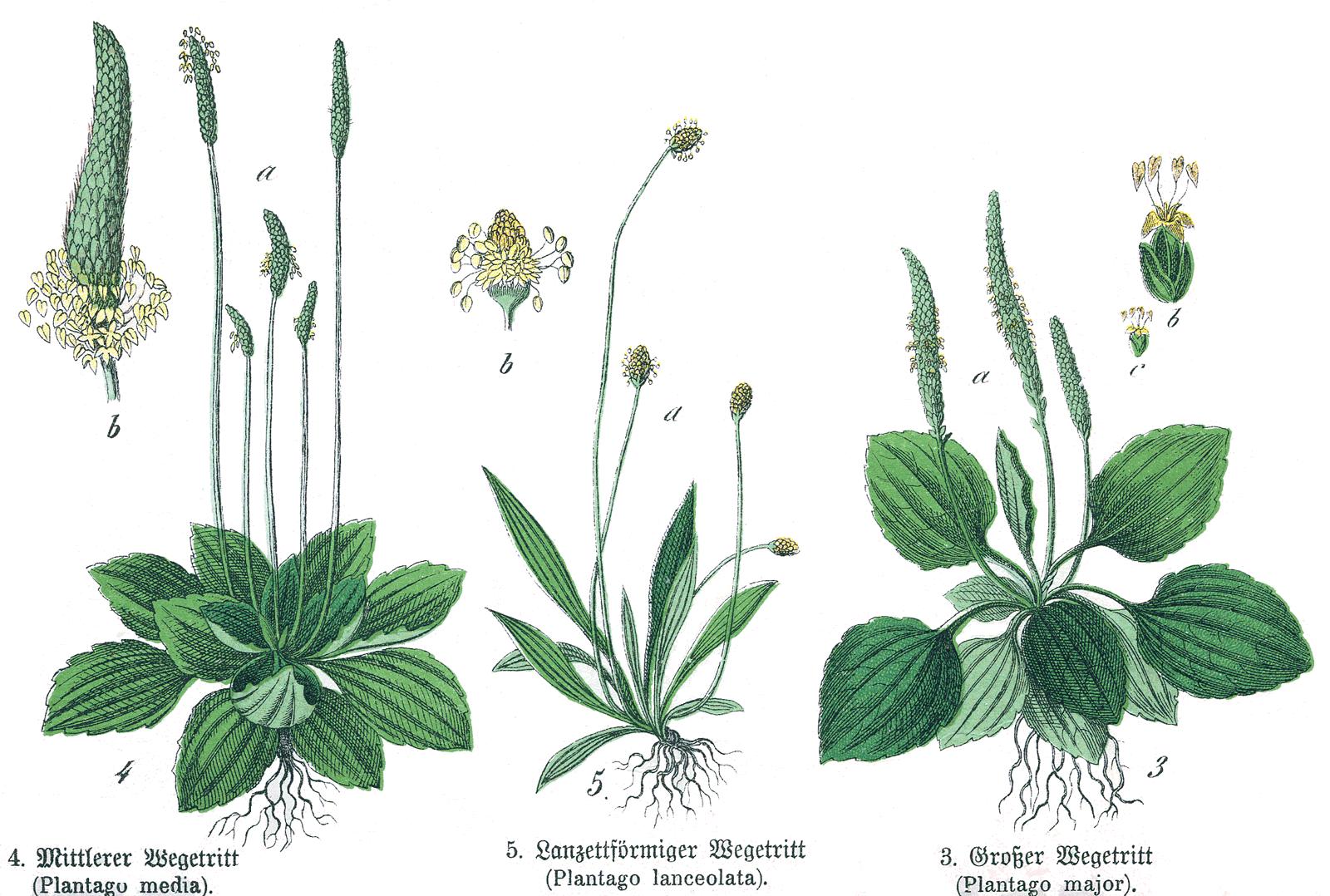 цветок подорожник