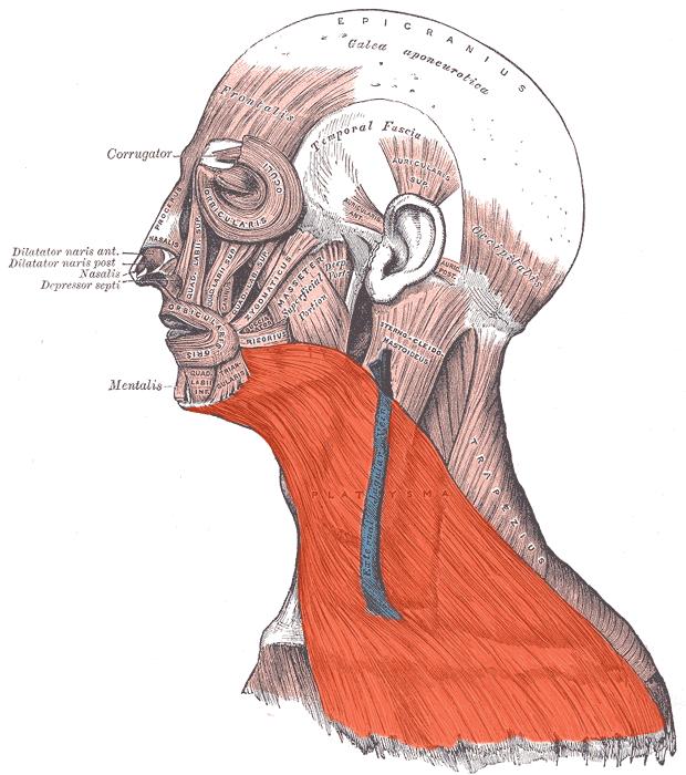 Мышца подъязычноязычная фото